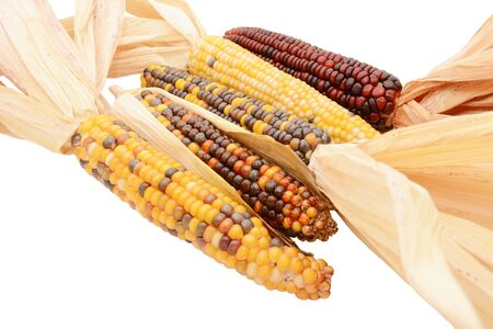 Five multicoloured ornamental flint corn cobs arranged diagonally, with red, yellow and brown niblets and dried maize husks, on a white background