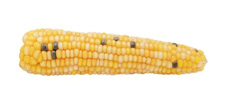 Ornamental Fiesta sweetcorn cob dotted with hard white and black niblets, isolated on a white background