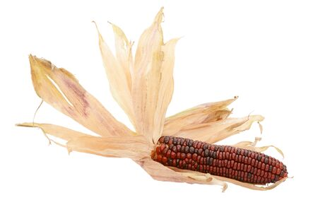 Dried papery husks fanned out around a decorative deep red Fiesta sweetcorn, on a white background 写真素材