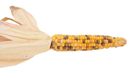Ornamental flint corn with yellow, red and black niblets, and dried maize husks on a white background