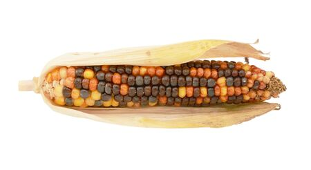 Colourful decorative flint corn cob with brown, orange and yellow niblets with dried, papery maize husks, on a white background