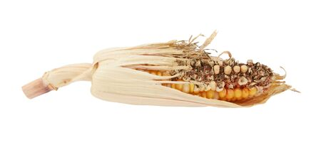 Damaged decorative Indian corn cob with eaten niblets and torn, dry maize husks, on a white background 写真素材
