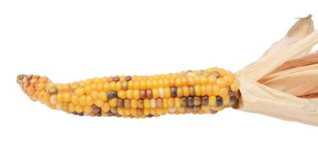 Decorative sweetcorn with yellow, red and black niblets. Papery dried husks drawn back, on a white background
