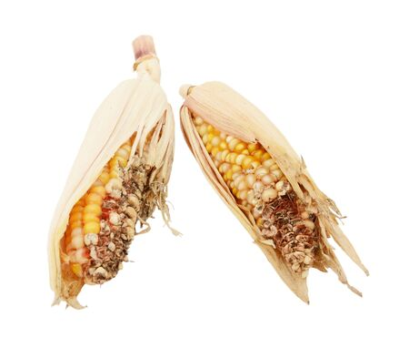 Two damaged and eaten ornamental sweetcorn cobs with ripped, dry husks and missing niblets, on a white background
