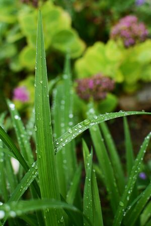 Long blades of daylily leaves covered in water droplets after rain, in selective focus against a lush flower bed 写真素材