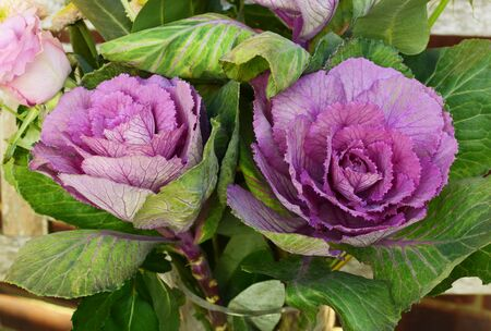 Ornamental kale heads with purple and green leaves in a brassica bouquet with roses and other flowers