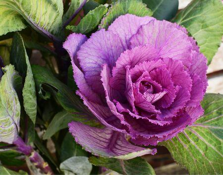 Purple ornamental kale head surrounded by deep green leaves in an unusual brassica bouquet  版權商用圖片