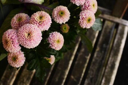 Pale pink pompon chrysanthemum flowers above a rustic wooden bench seat with copy space