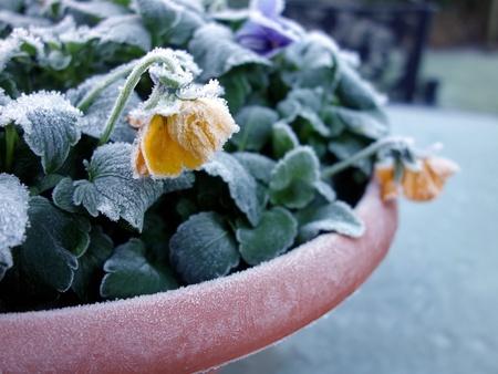 Pansies with frost Zdjęcie Seryjne