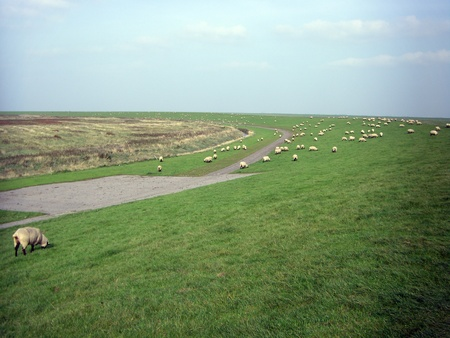 Sheep flocking at the dike near the salt marshes Stockfoto - 117637922