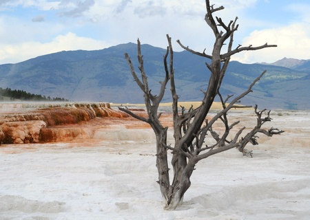 Yellowstone. Dead tree.