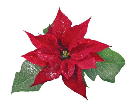 Glitter poinsettia on white background Banco de Imagens