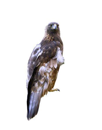 aquila reale: Aquila reale su sfondo bianco Archivio Fotografico