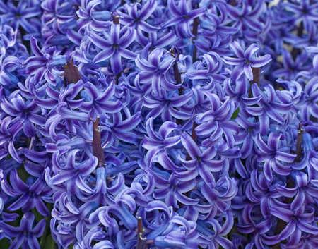 Closeup of purple hyacinth flowers spring  background Banco de Imagens