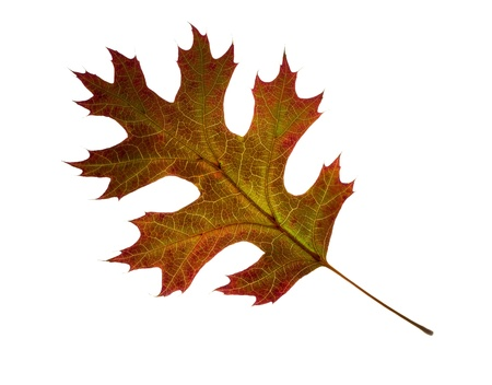 Close-up of autumn Northern Pin Oak leaf on white background. Imagens