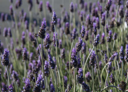 lavandula: Lavender (Lavandula) flowers - natural background Stock Photo