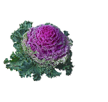 flowering kale: Ornamental kale (Brassica oleracea) plant on white Stock Photo