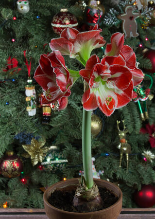 minerva: Amaryllis Minerva on Christmas tree with ornaments background Stock Photo