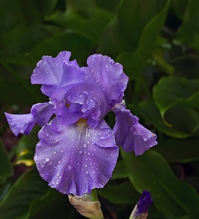 Closeup of purple  iris with water drops on green