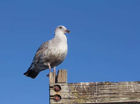 sittting: Seagull sittting on old wooden fence with blue sky in background