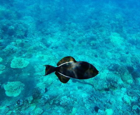 Hawaiian tropical fish (Black Triggerfish) in crystal-clear water of Molokini, Maui.