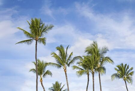 windy day: Palms on blue sky with clouds background. Windy day.