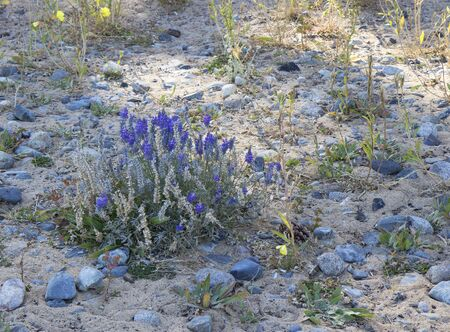 tahoe: Lupine and other wildflowers on the north shore of Lake Tahoe