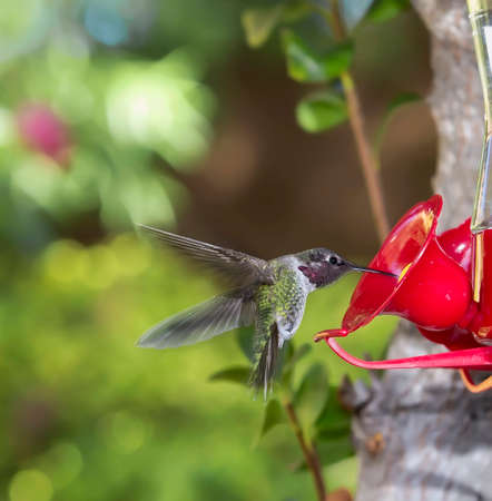 ruby throated: Ruby Throated Hummingbird ((archilochus colubris)) male flying towards feeder