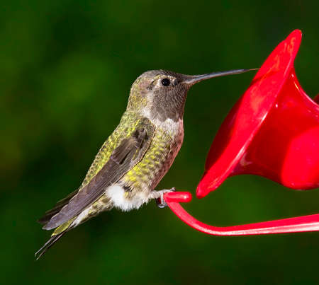 ruby throated: Ruby Throated Hummingbird (Archilochus colubris) female sitting at feeder