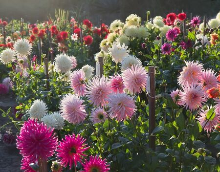 back light: Sunset in dahlia garden with different types of laciniated dahlias. Back light.