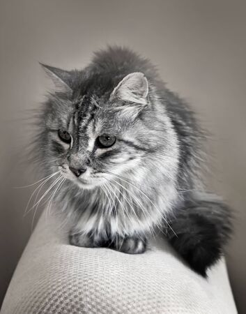 Portrait of sitting domestic long haired cat