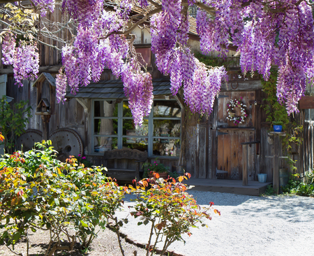 Spring rural landscape with  purple wisteria blooming. Stock Photo