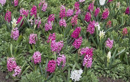 Spring floral background. Blooming hyacinths.  Imagens