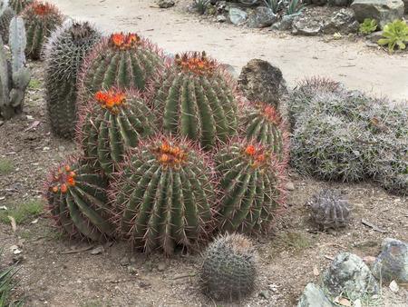 Blooming  Barrel cacti (Ferocactus cylindraceus).