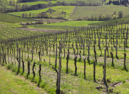 Spring landscape with vineyard in Tuscany hills.