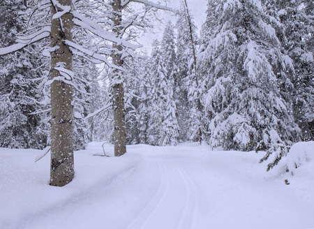 Landscape with snowfall in winter forest.
