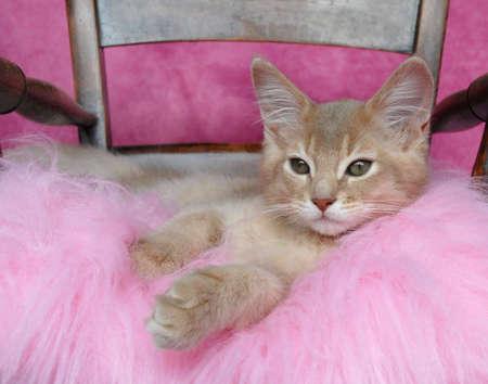 somali: fawn somali kitten relaxing on a pink cushion