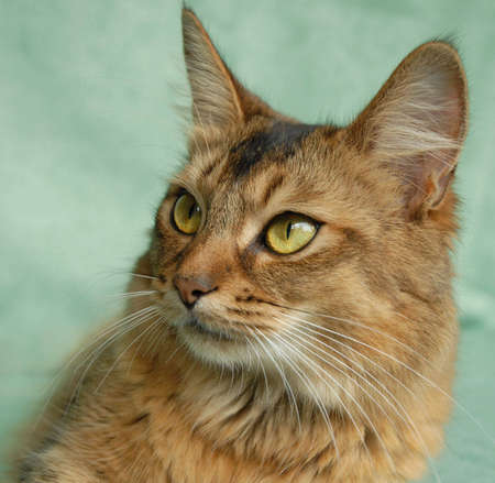 usual: usual somali cat profile portrait Stock Photo