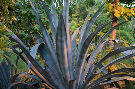 Blue Agave cactus bathed in evening light   photo