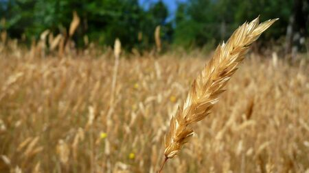 single long grass seed in close-up with gold field background Stock Photo