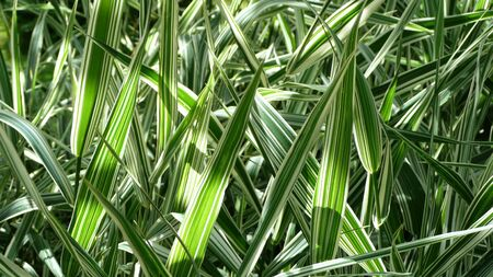 forest of decorative green grass blades in closeup in sunlight
