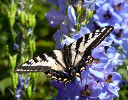 swallowtail butterfly landing on blue delphinium flower Stock Photo