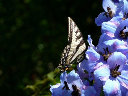 swallowtail butterfly in profile sitting on blue delphiniums with dark background