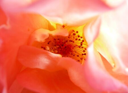 macro close-up inside a garden rose illuminated with flash