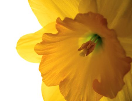 Macro inside Daffodil lit from behind petals. Shallow depth of field.