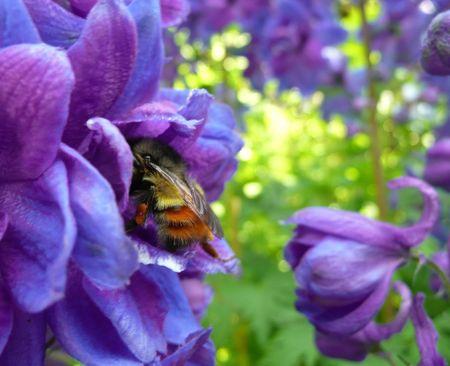 yellow and orange bumblebee in blue delphiniums Stock Photo