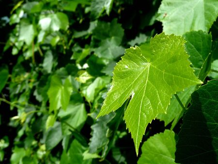 Single grape leaf highlighted against a green vine background. Copy space to side. Stock Photo