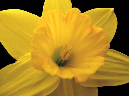 Close-up of lit Daffodil on black background. Shallow depth of field. Stock Photo - 3410646