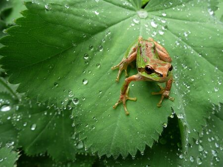 Pacific Tree Frog sitting on lush green backdrop of dewey leaves