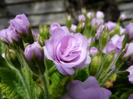 purple primrose flower against a blurred garden of buds and wooden fence